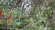 Sea-buckthorn bushes with fruits on shore of baltic sea at cape arkona on rugen isle. (Germany) video