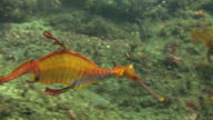 Seadragon HD video