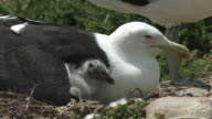 Seagull chick under mother's wing. video