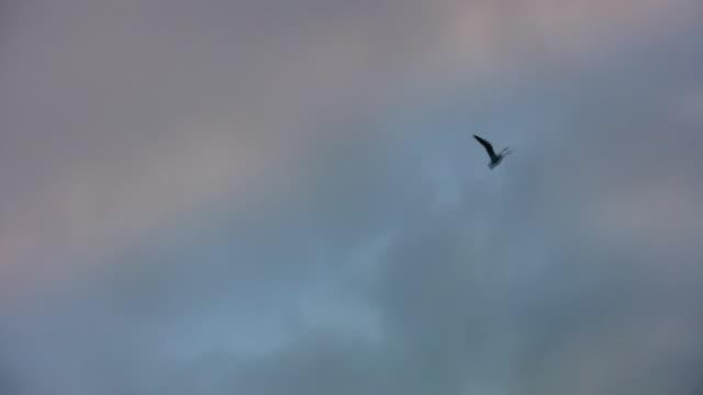 Seagull flies across the sky. video