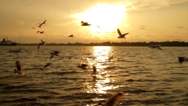 Seagull flying in sunset,Steadycam shot video