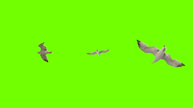 Seagull flying on green screen. Pack of three. video
