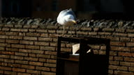 Seagull from Rome, animal behaviour video