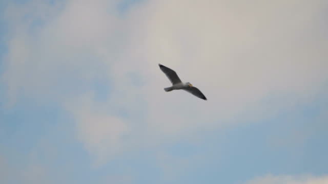 Seagull in flight swallows food video