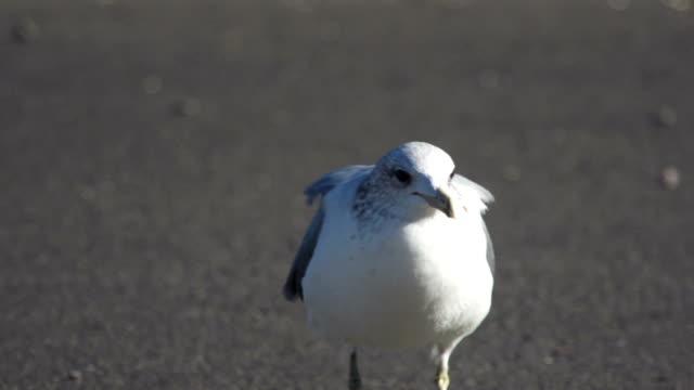 Seagull on Pavement video