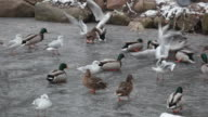 Seagulls and ducks, standing on ice, catch a forage which to them throw video