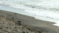 Seagulls and sandpipers dodge waves video
