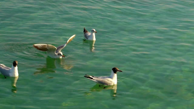 Seagulls Floating on the Water video
