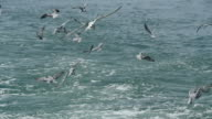 seagulls flying hover eat fish. video