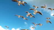 Seagulls flying video