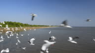 Seagulls Migration video