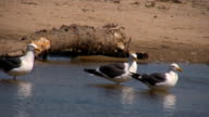 Seagulls standing in shallow water video
