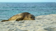 Seal on the beach at Carmel video