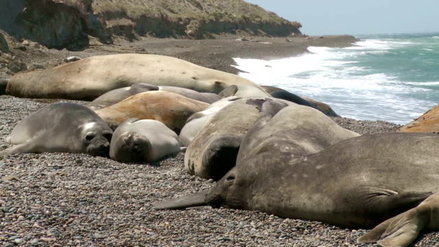 Seal rookery on the coastline. The South of Argentina video