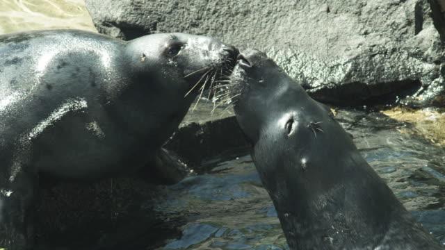HD: Seals kissing video