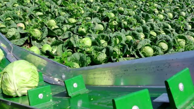 Seasonal Work in the Field - Harvesting Cabbage video