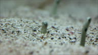 See Head Garden eels fish in the sea. video