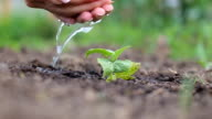 Seeding,Seedling,woman hand watering young plant over green background video