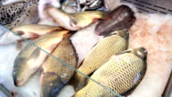 Seller puts fresh fish on ice at the fish market. video