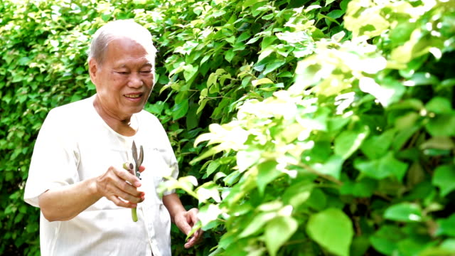 Senior Asian Man Pruning Leaf of Tree video