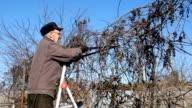 Senior elderly man gardener prunes bushes twigs video