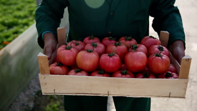 Senior experienced Technologist holding tomatoes video