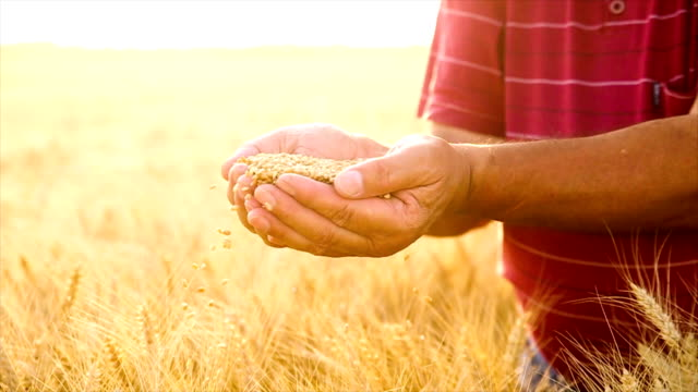 Senior farmer in a field examining wheat crop at sunset video