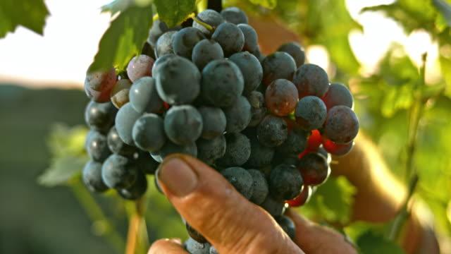 SLO MO Senior male's hand cutting grape cluster video