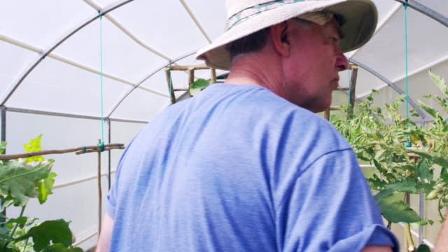 Senior Man Checking Cucumbers Growing In Allotment Greenhouse video