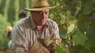 Senior man hand harvesting grape clusters in sunshine video
