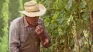 Senior man tasting the grapes in vineyard video
