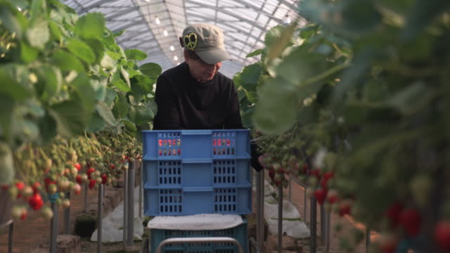 Senior women are working in their own strawberry farm video