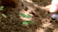 Sensitive green plant Mimosa Pudica video