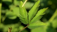 sensitive mimosa pudica leaf video