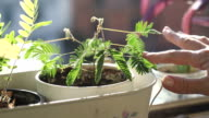 Sensitive plant, mimosa pudica. video