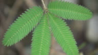 Sensitive plant (Mimosa pudica) video