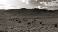 sepia tone Bison with calf in Yellowstone video