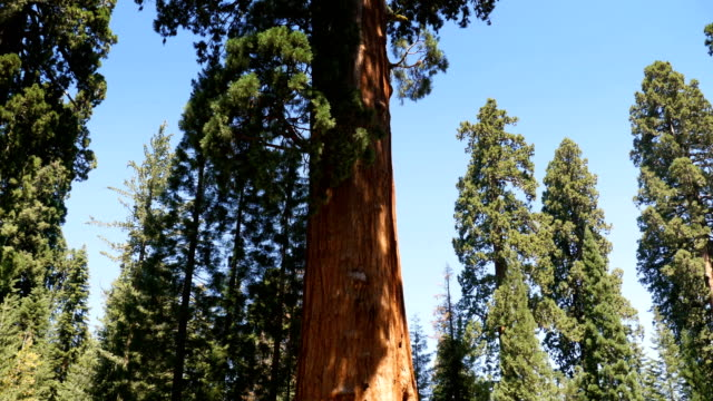 Sequoia Trees in the Forest video