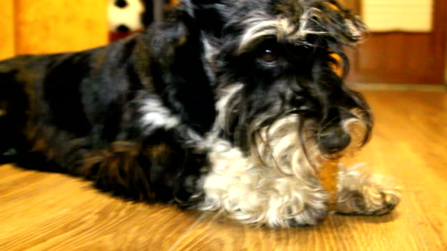 Serious dog. Miniature Schnauzer video
