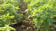 sesame plant in cultivated field video