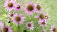 Set of purple cornflower in the meadows video