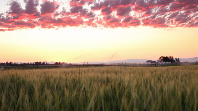 Set sun cloudscape with irrigation and wheatfield video