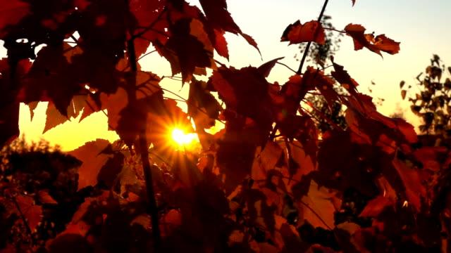 CLOSE UP: Setting sun shining through fall foliage on lush bush in wilderness video