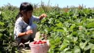 Seven Year Old Girl Picks Fresh Strawberries video