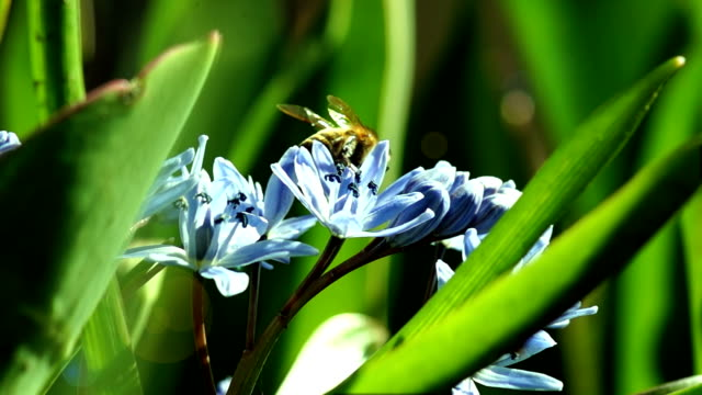 Several Bees Pollinate Spring Young Flowers video