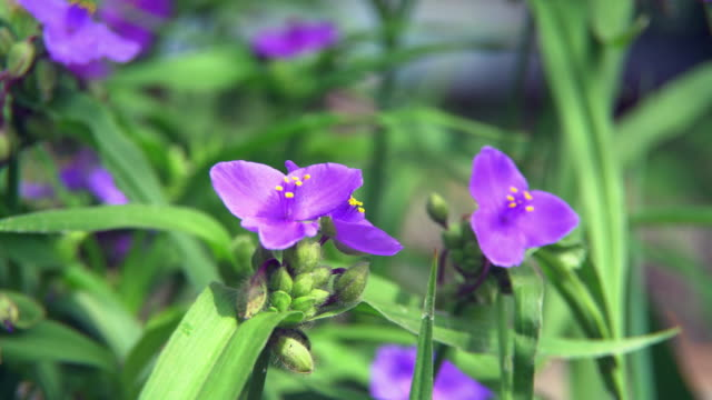 Several flowers Campanula Portenschlagiana Purple video
