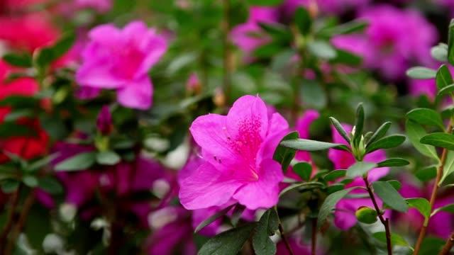 Several Large Flowers on Green Bush of Azaleas video