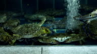 Several large green crabs are sitting in a tank video