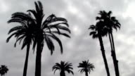 Several Palm Trees Silhouetted Against Overcast Sky video