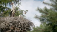 Several storks sitting in a nest on a pillar high voltage power lines. video